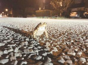 Toad patrol saves 608 toads
