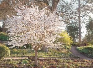 Celebrate cherry blossom season by planting a tree of your own